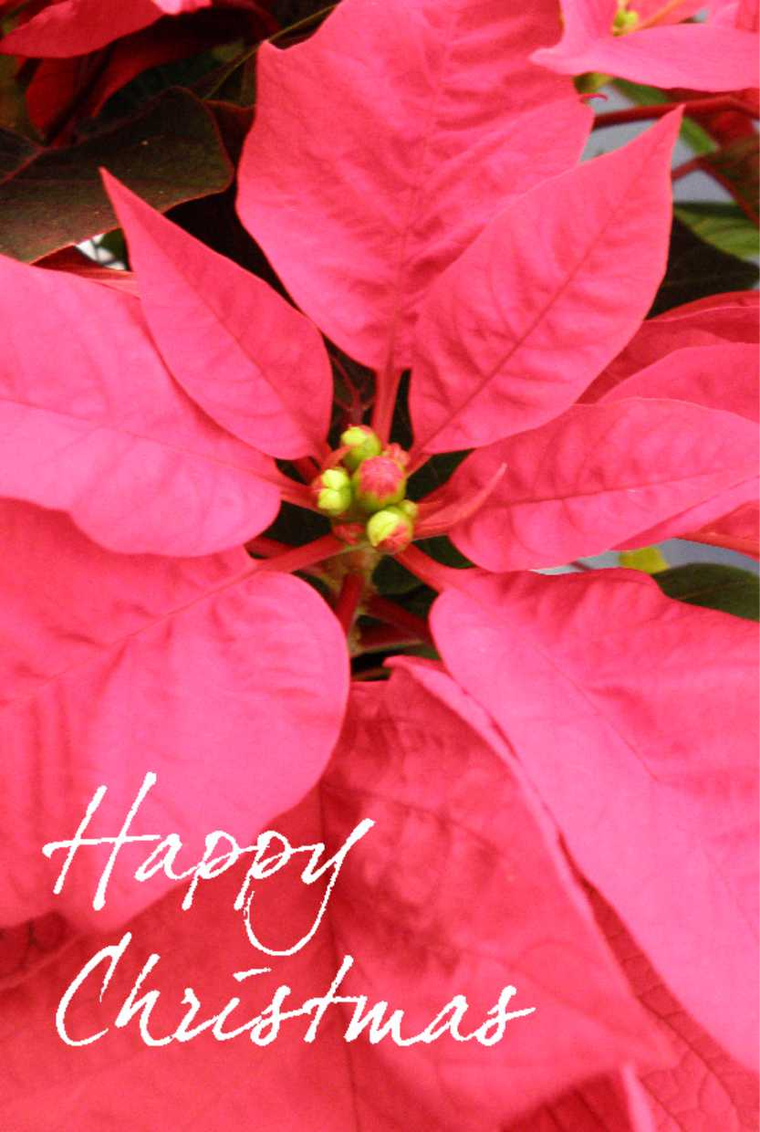 Christmas/Poinsettia.jpg